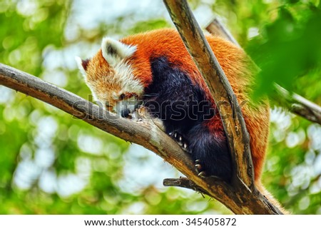 Red Panda in its natural habitat of the wild. - stock photo