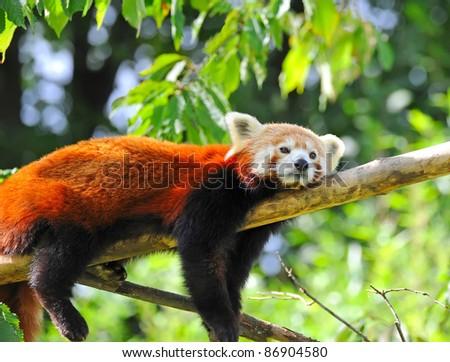 Red panda on tree - stock photo