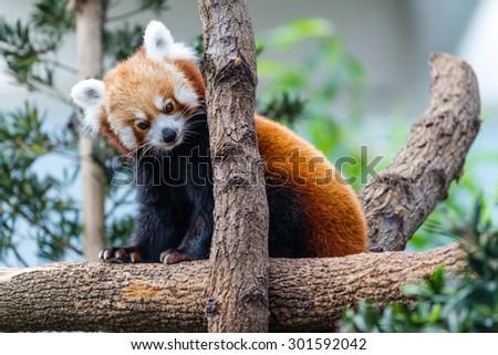 Red Panda on trunk - stock photo