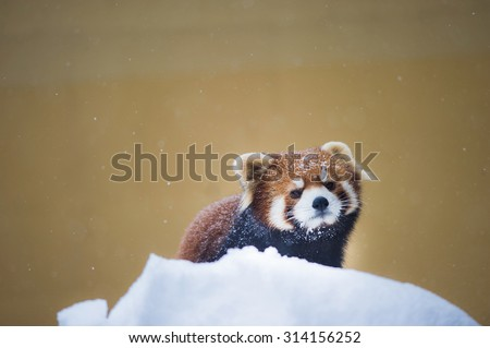 red panda playing on snow winter - stock photo