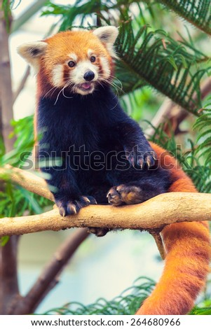 Red Panda sitting on a branch of a tree in zoo - stock photo