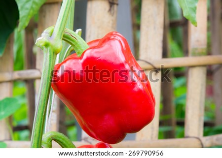 red paprika on a branch in the farm - stock photo