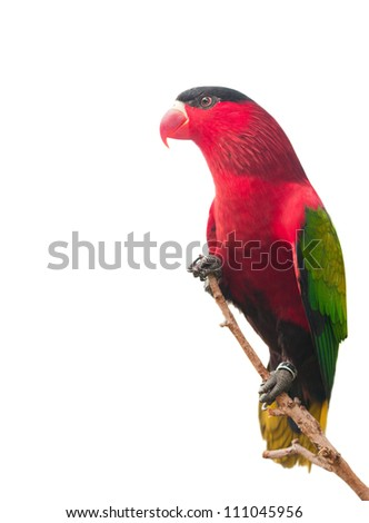 Red parrot isolated on white background - stock photo