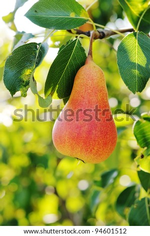 Red pear on the tree. Pear on a background of green foliage. - stock photo