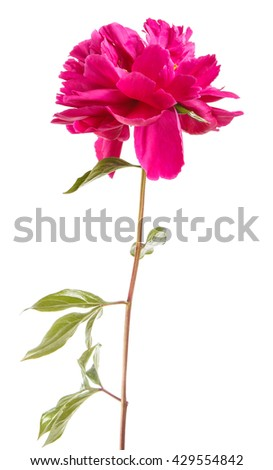 red peony flower. Isolated on white background