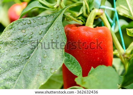 Red Pepper In Vegetable Garden - stock photo