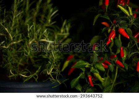 Red pepper tree - stock photo