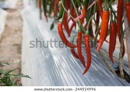 Red peppers in the garden - stock photo