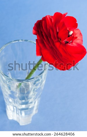 Red persian buttercup flower in a vase on blue background. - stock photo