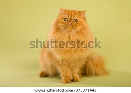 Red Persian cat sitting on green background