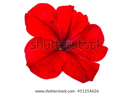 Red petunia flower isolated on white background