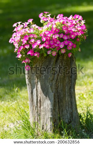 Red Petunia flowers grow on a stump - stock photo