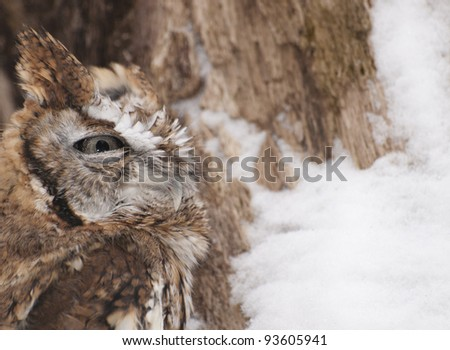 Red Phased Eastern Screech owl camouflaged against the bark of a tree covered with winter snow. - stock photo