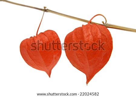 Red Physalis alkekengi - Cape gooseberry, as decorations or food. - stock photo