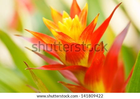 red pineapple flower - stock photo