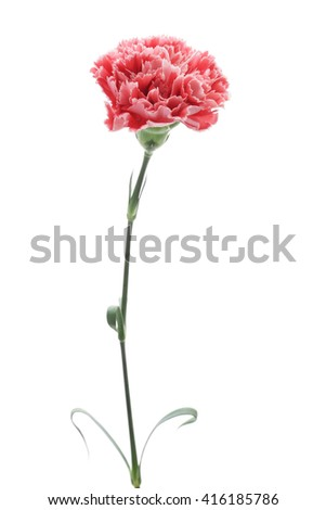 Red pink carnation isolated on white background  - stock photo
