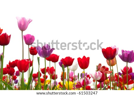 Red, pink, yellow, white, and purple tulips rise up against a white background. - stock photo