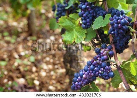Red pinot noir wine grapes Burgundy vineyard France. - stock photo