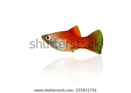 red platy fish isolated on white - stock photo