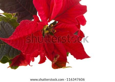 Red poinsettia - stock photo