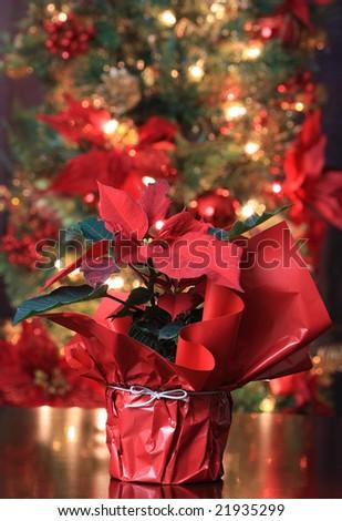 Symbolic Christmas Plant Poinsettia Christmas Tree Stock Photo ...