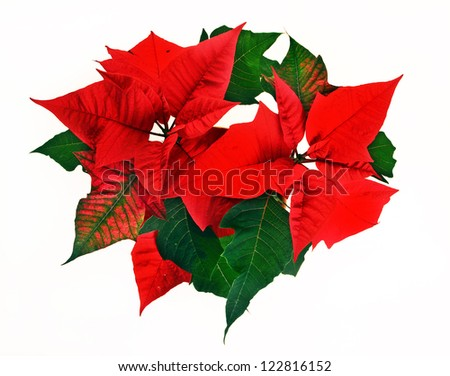 Red poinsettia. Christmas flower on white background