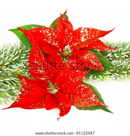 Red Poinsettia. Christmas flowers - stock photo