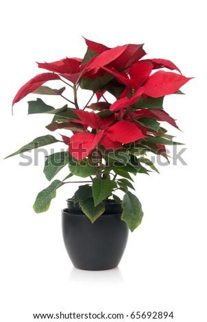 Red poinsettia, Christmas plant isolate on white background. - stock photo