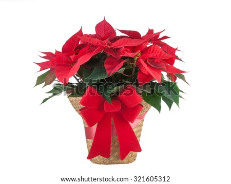 Red poinsettia Christmas plant with bow isolated on white background