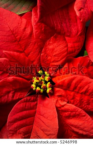 Red Poinsettia close-up - stock photo