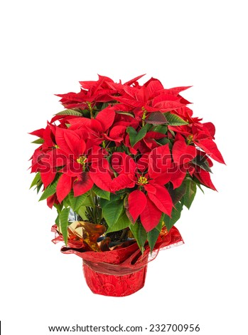 Red poinsettia (Euphorbia pulcherrima) in a festive flower pot, isolated over white background - stock photo