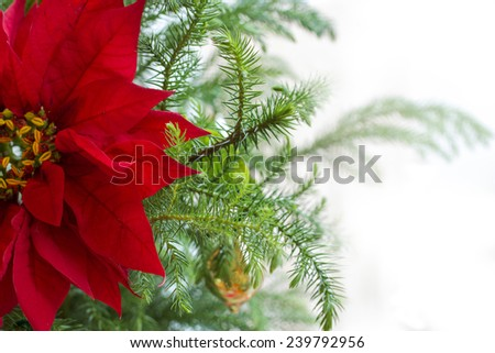 Red Poinsettia flower; Christmas decorations; Christmas tree branch with red poinsettia flower on white background; isolated on white - stock photo