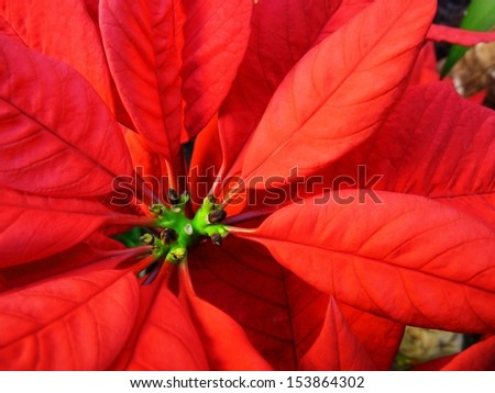 Red Poinsettia Flower Close Up