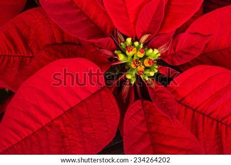 Red poinsettia flower (Euphorbia pulcherrima) aka Christmas Star, closeup - stock photo