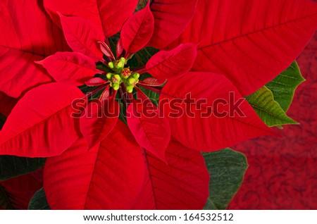 Red poinsettia flower (Euphorbia pulcherrima), closeup - stock photo