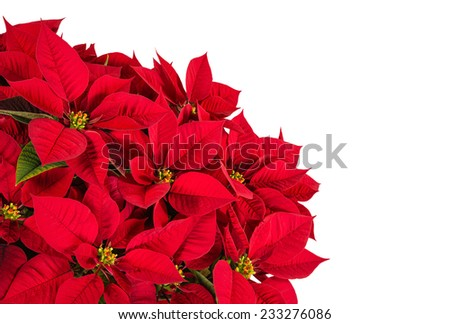 Red poinsettia flower (Euphorbia pulcherrima), isolated on white with copy space