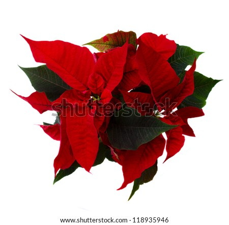 red poinsettia flower or christmas star isolated on a white background