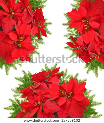 red poinsettia flower with beautiful christmas tree branch on white background
