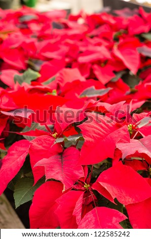 Red poinsettia flowers in bloom with bright bracts
