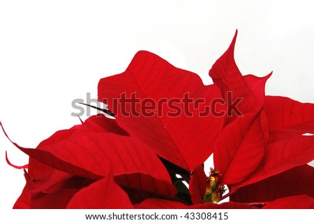 red poinsettia flowers on the white background - stock photo