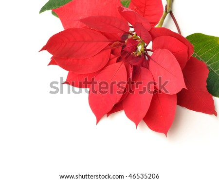 Red Poinsettia For Background