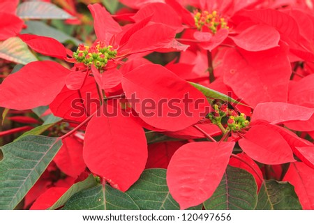 red poinsettia garden with green leaves - christmas flower