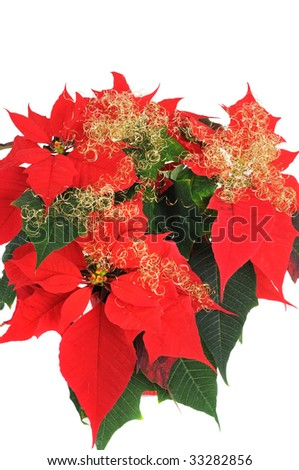 Red Poinsettia in front of a white background