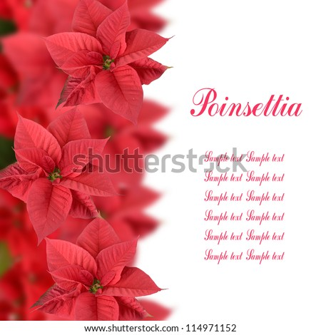 Red poinsettia isolated on a white background