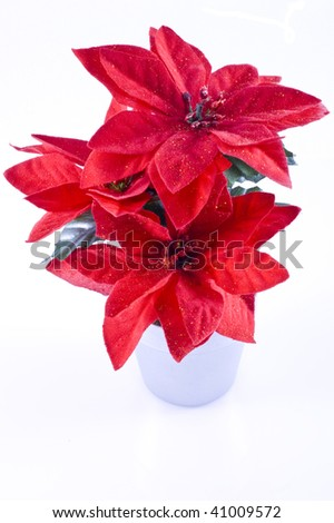 Red poinsettia, isolated on a white background.