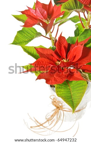 Red poinsettia isolated on a white background - stock photo