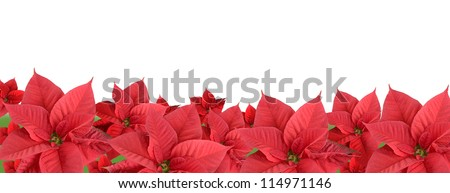 Red poinsettia isolated on a white background, border - stock photo