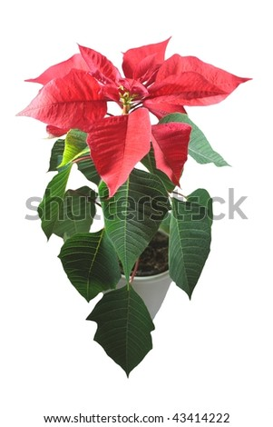red poinsettia isolated on white - stock photo