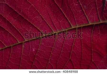 Red Poinsettia leaf close-up