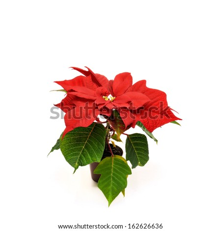Red poinsettia. Red christmas star on white background. - stock photo